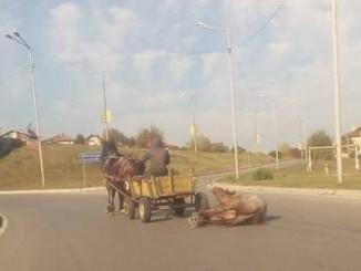 Гавра с кон в Перник